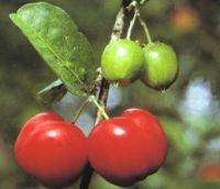 La acerola es un alimento rico en vitamina C