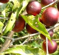 El camu camu es una fruta con un altisimo contenido de vitamina c