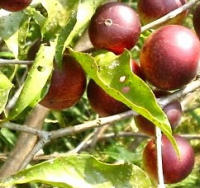 Alimentos con Vitamina C Camu-camu-altisimo-contenido-vitamina-c