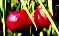 Alimentos con Vitamina C Ciruela-kakadu-mayor-cantidad-vitamina-c
