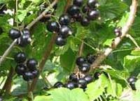 La grosella negra es un excelente alimento con un alto contenido de vitamina c