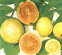 Alimentos con Vitamina C Guayaba-fruta-vitamina-c